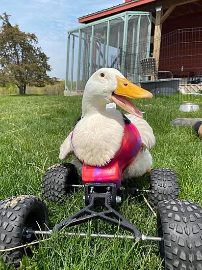 E agora a pata possui uma cadeira de rodas para que ela possa passear livremente pelo santuário.