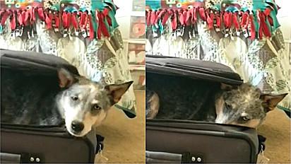 Cachorro entra na mala para impedir a dona de viajar.
