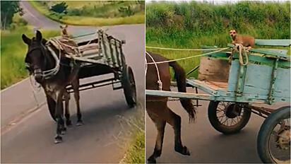 Cachorro vira-lata caramelo é visto pilotando carroça sozinho em estrada.