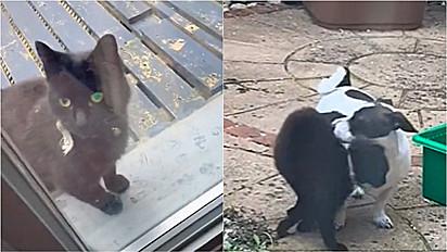 gatinha mia na porta para chamar o seu amigo cachorro para brincar.