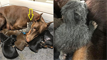 Doberman alimenta filhote de gato abandonado pela mãe.