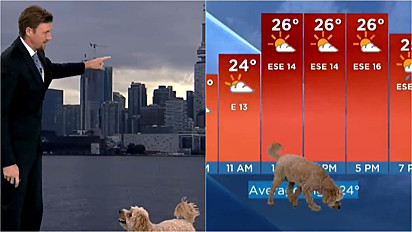 Cachorro invade transmissão ao vido da previsão do tempo.