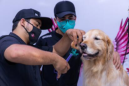 O cão percebe quando o tosador não está em condições de efetuar o trabalho e acaba se esquivando do profissional.