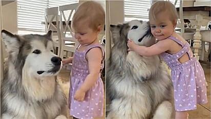 Bebê dá terno abraço em malamute do Alasca.