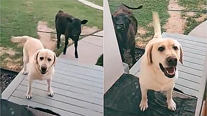 Cão vai até curral convidar a sua amiga para a festa do pijama, mas tutora barra a entrada dentro de casa.