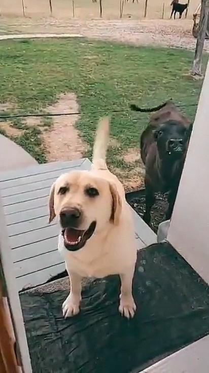 O cãozinho tentou convencer a dona deixar a vaca entrar dentro de casa.