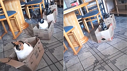 Homem constrói trem com caixas de papelão para os seus gatos se divertirem.