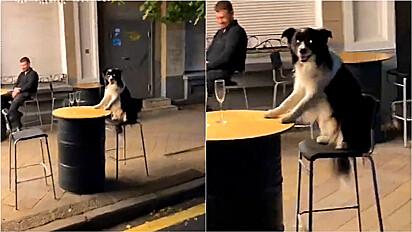 Cachorro é flagrado sentado em mesa de bar.