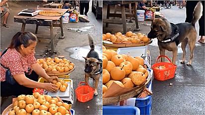 Cachorro vai até feira comprar frutas acompanhado de cadela.