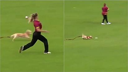 Cachorro invade partida de críquete feminino na Irlanda para roubar a bola.
