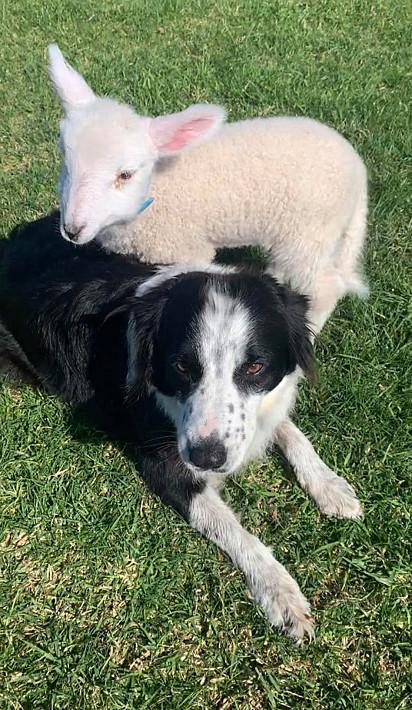 O cordeiro se familiarizou rapidamente com os cães da tutora.