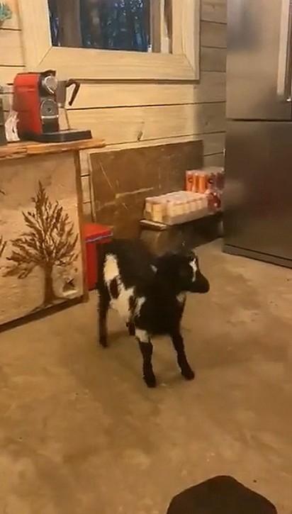 A cabrinha insistente pulou para dentro de casa.