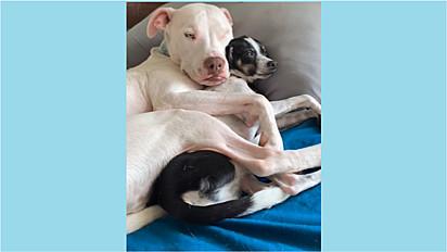 Pit bull é flagrado deitado abraçando o seu irmão chihuahua.