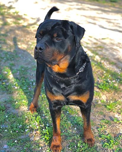 Axel é da raça rottweiler.