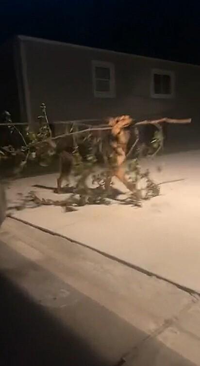 O cachorrinho, mais um pouco, chegava com uma árvore em casa.
