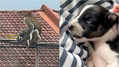 Filhote de cachorro é sequestrado por macaco e fica três dias como refém.