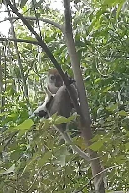 O macaco manteve o cachorrinho refém por três dias.