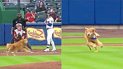 Golden retriever invade partida de beisebol.