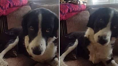 Conheça Mog, uma cachorra que continua dando a pata para dona mesmo após perder bracinho.