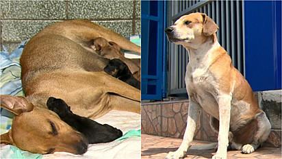 Cachorra vai até clínica veterinária pedir ajuda para dar à luz e pai fica do lado de fora aguardando notícias.