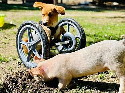 Winnie está em sua cadeira de rodas adaptada enquanto Wilma procura insetos