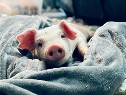 Wilma está deitada em um cobertor descançando