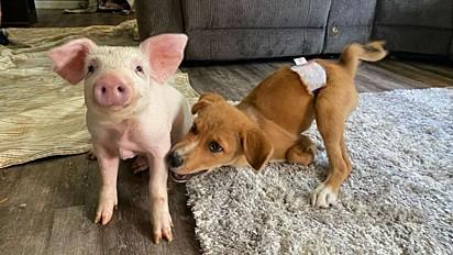 Leitão e cachorro com necessidades especiais se tornam melhores amigos