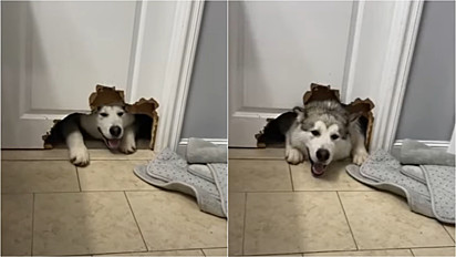 Malamute do Alasca faz buraco em porta do banheiro para ficar perto da sua dona.