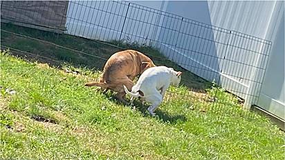 Cães são flagrados fazendo suas necessidades juntos.