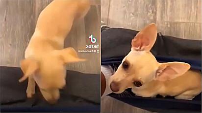 Cachorra entra em roupa do dono enquanto ele usa o banheiro.