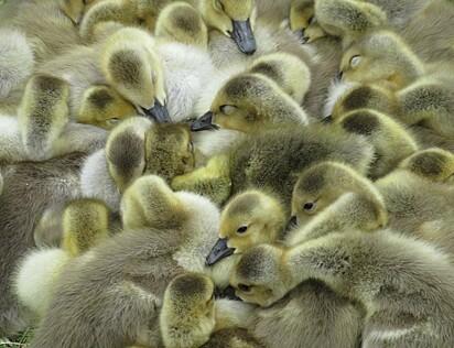 A ninhada de gansos está amontoada para se esquentar
