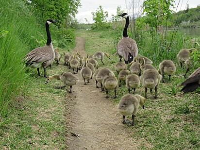 A mamãe ganso e seu companheiro estão caminhando com os 47 bebês