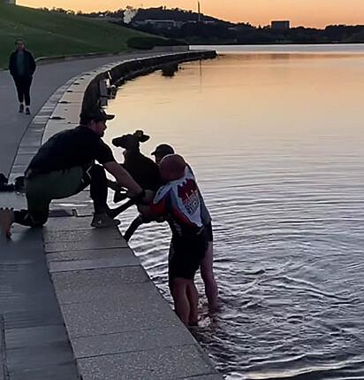 O canguru sendo retirado da água