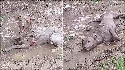 Após banho, cadela se diverte em lamaçal.