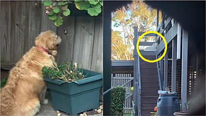 Golden retriever espia pelo buraco da cerca o pátio do vizinho para admirar cachorrinha.