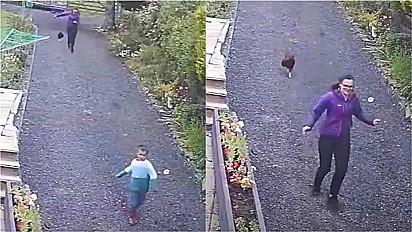 Galo em fúria põe mãe e filho pra correr para proteger ovos do galinheiro.