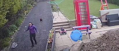 Em seguida vem a mãe e o galo correndo atrás.