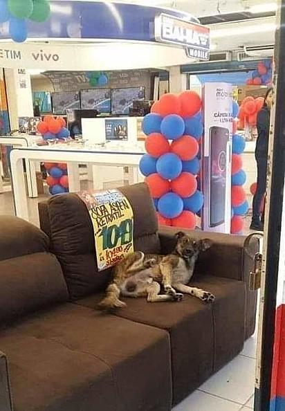 Cachorro deita tranquilamente no sofá de uma loja na Bahia.