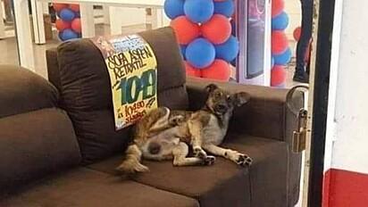 Cachorro é fotografado deitado em sofá de loja.