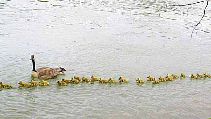 Mamãe ganso cuida de incríveis 47 filhotes.
