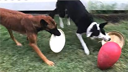Border collie ensina a sua amiga canina a jogar hóquei improvisado com tigelas.