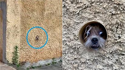 Cachorrinha entra no cano para espiar dona chegar da rua.