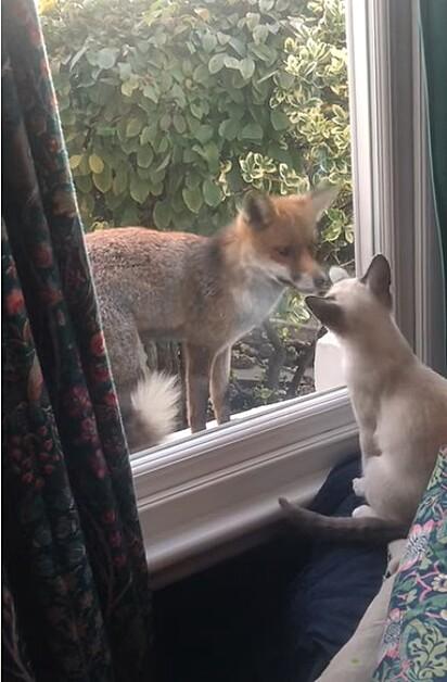 Felino e raposa são flagrados interagindo pela janela.