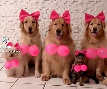 Na foto estão três cães da raça Golden Retriever, um poodle e a gata Zara