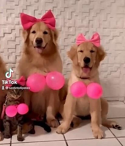 Na foto está dois cães da raça Golden Retriever e uma gata chamada Zara