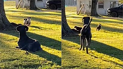 Dogue alemão assusta sem querer filhotes de vizinho que se aproximaram curiosos para vê-lo.
