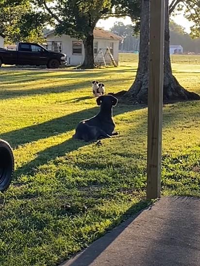 Os filhotes foram espiar o dogue alemão deitado pegando um sol.