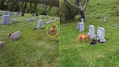 Cachorro visita cemitério e sempre sabe reconhecer qual é o túmulo de sua vovó.