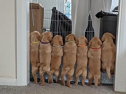 Os filhotinhos aprenderam a escalar o cercado.