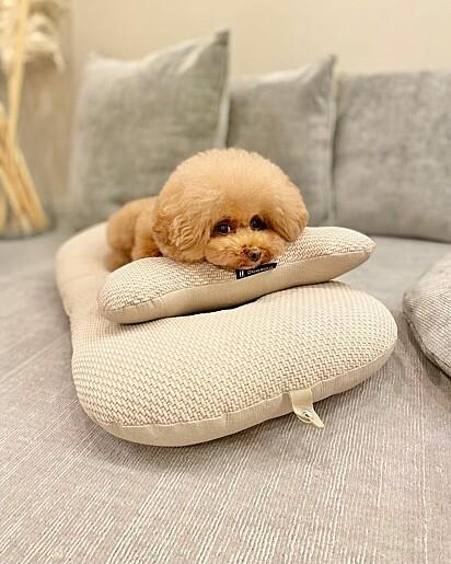Panna, da raça poodle toy.
